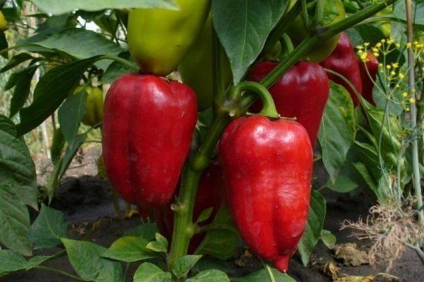 Лучшие проверенные сорта перцев для подмосковья на 2020 год с отличным урожаем и неповторимым вкусом