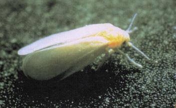 Белокрылка на помидорах, капусте, огурцах - методы борьбы с паразитом