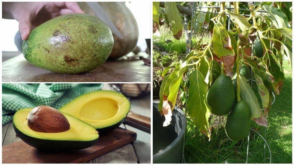 Секреты дозревания авокадо в домашних условиях