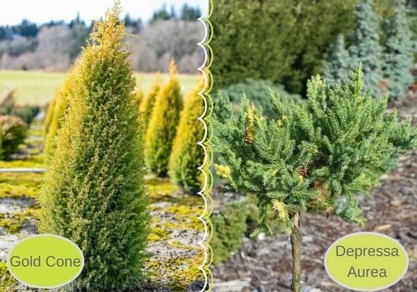 Морозостойкие декоративные кустарники для выращивания в северных регионах и сибири
