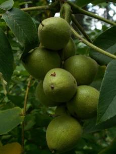 Основные характеристики грецкого ореха идеал. как выращивать этот сорт и нужен ли ему опылитель?