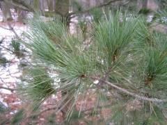 Сосна горная пумилио (38 фото): описание, посадка и уход, отличия от мугус, применение в ландшафтном дизайне