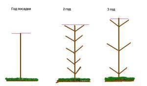 Как обрезать яблоню колоновидную. особенности обрезки колоновидных яблонь