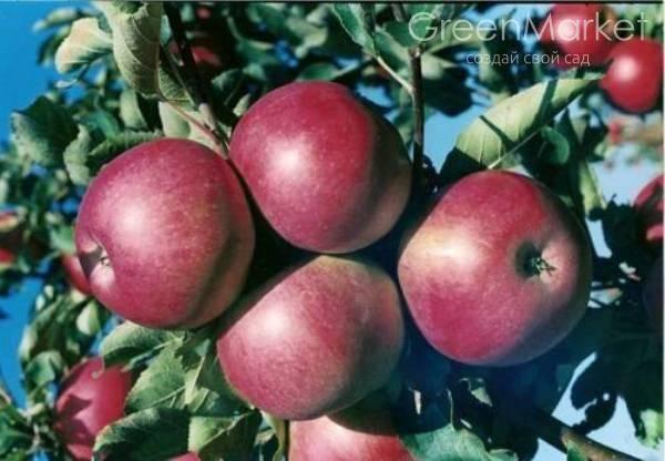 Описание сорта колоновидной яблони малюха
