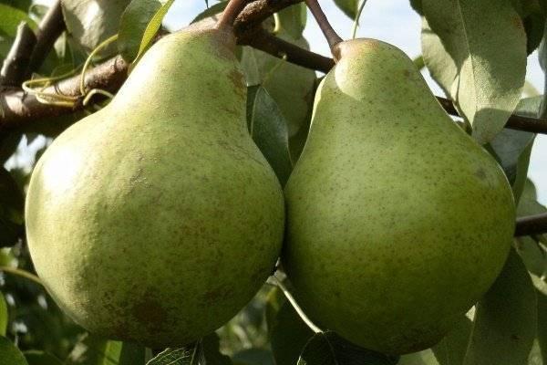 Правила выращивания и вкусовые качества груши просто мария