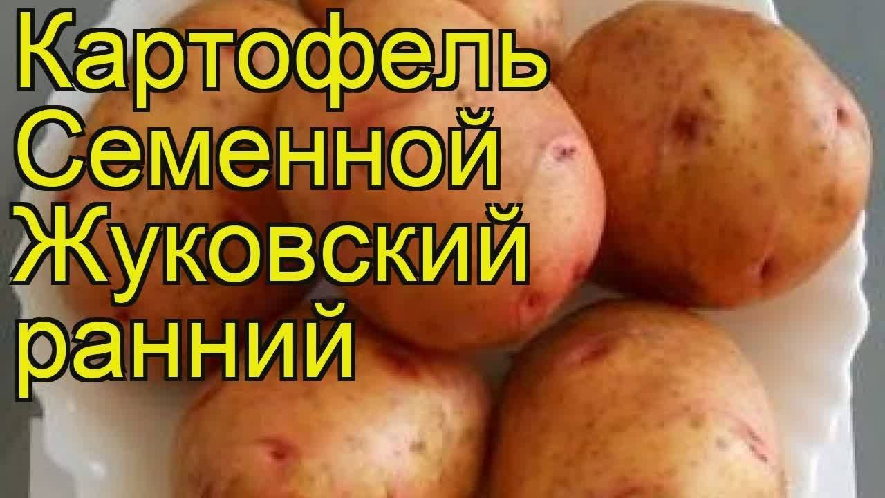 """Картофель """"великан"""": описание сорта, характеристики корнеплода, советы по выращиванию, а так же фото-материалы"""