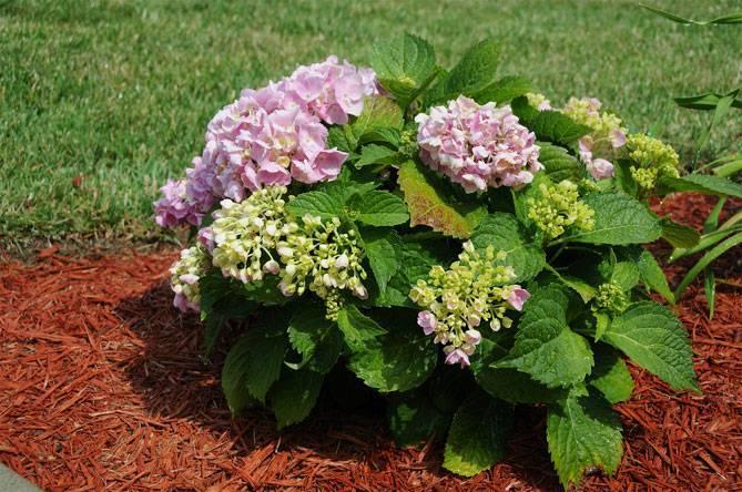 Гортензия со лонг рози: описание, особенности посадки и ухода