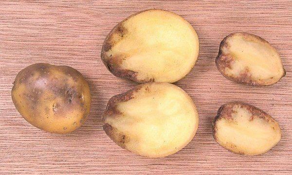 Почему картошка чернеет в духовке. картофель чернеет внутри — почему темнеет картошка при хранении