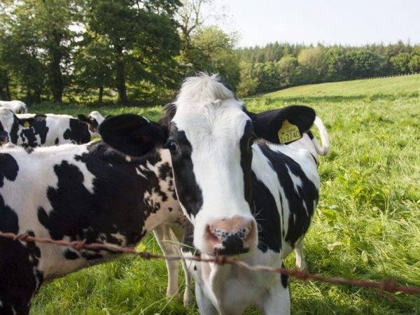 Кетоз у коров: симптомы, лечение крс народными средствами
