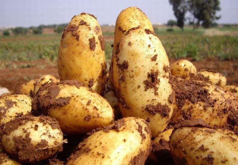Картофель ирбитский: характеристика, посадка и уход
