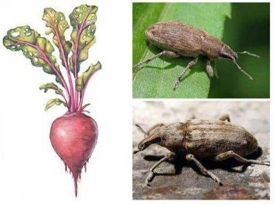 Самые опасные вредители картошки: фото, способы борьбы