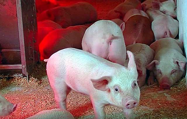Как заколоть свинью самостоятельно