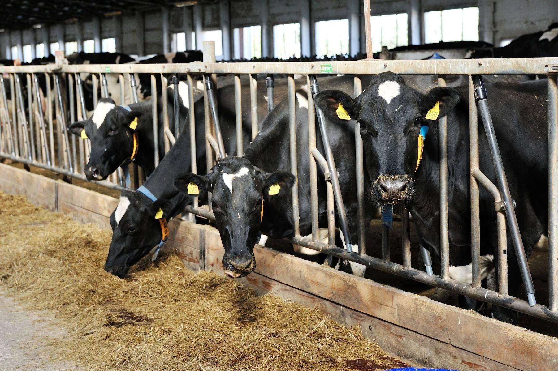 Как лечить пододерматит у коров?