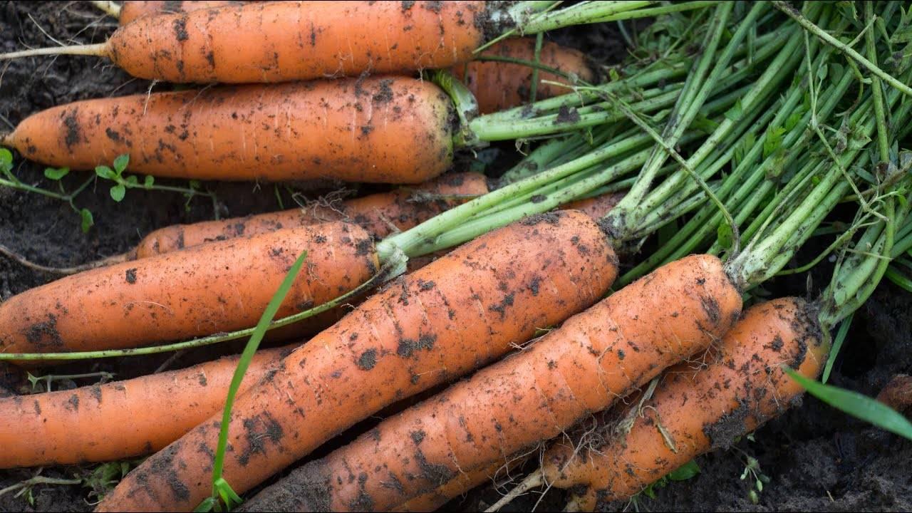Как посадить морковь семенами в открытый грунт весной: сроки и правила посева