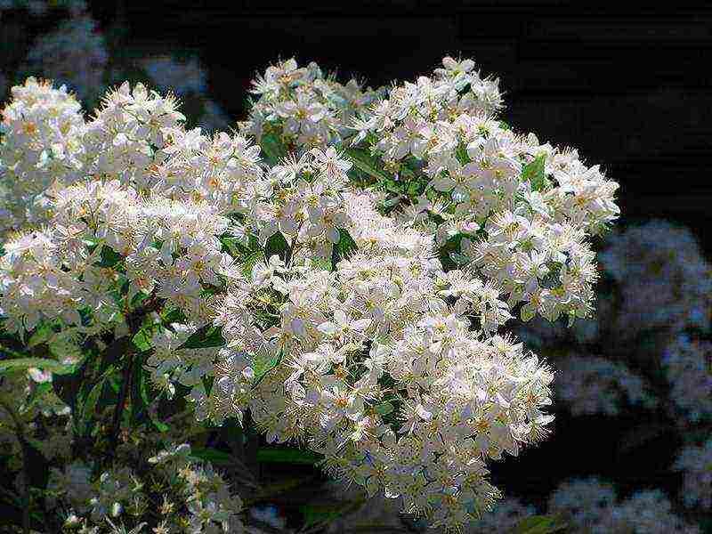 Цветок дейция — вечнозеленый кустарник: сорта, посадка и уход (с фото)