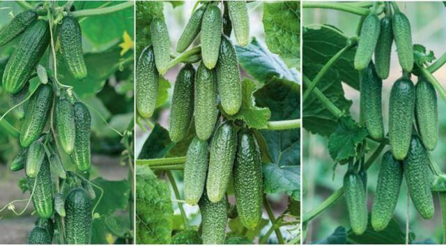 Скромный в уходе сорт для парников и теплиц — огурец все путем f1: описание, особенности выращивания