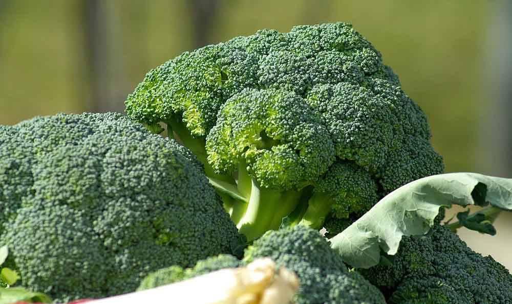 Выбираем сорта капусты брокколи для хорошего результата