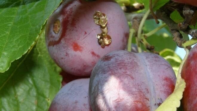 Чем обработать сливу от червей в плодах