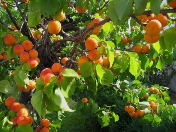 Описание и характеристика сорта абрикоса триумф северный