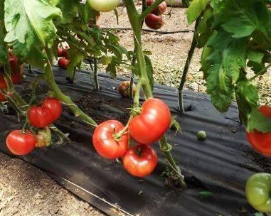 Сорт с восхитительным вкусом и урожаем — томат ольга f1: описание и характеристики