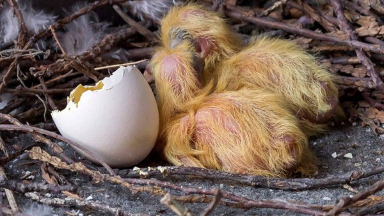 Чем кормить птенца голубя. кормление маленького голубя в первые недели его жизни. питание птицы в домашних условиях