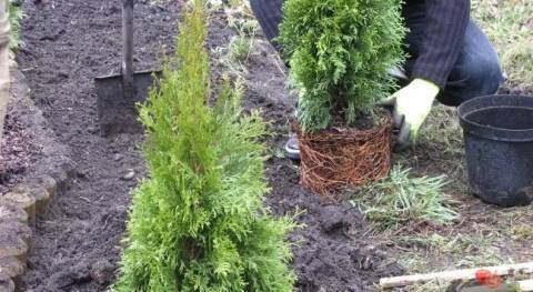 Мириам: туя западная, посадка и уход, выращивание и размножение в саду