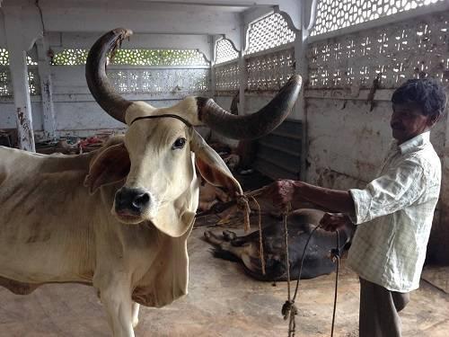 Как лечить трихомоноз у коров
