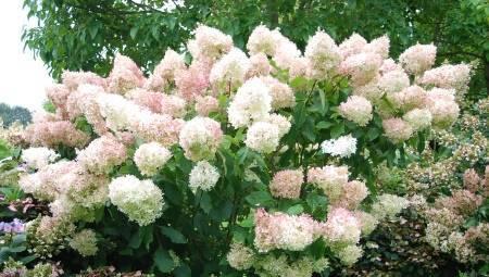Штамбовые розы: посадка и уход