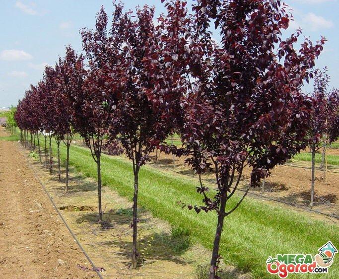 Декоративное украшение ландшафта или краснолистная яблоня