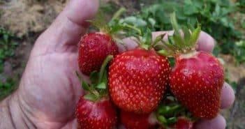 Яблоня апорт: описание сорта, фото, отзывы садоводов
