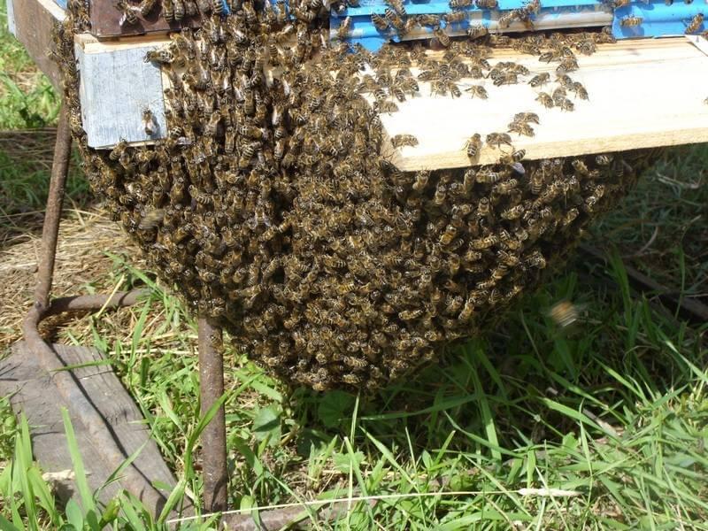 Когда и как формировать отводки пчел