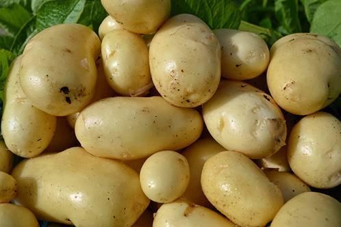 Немецкий сорт картофеля: «каратоп» описание, фото, основные характеристики