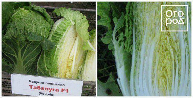 Вырастить пекинскую капусту дома из кочерыжки