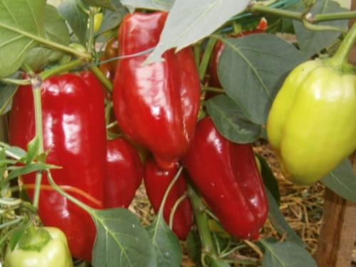 Семена раннеспелого перца атлант  nasko купить в украине