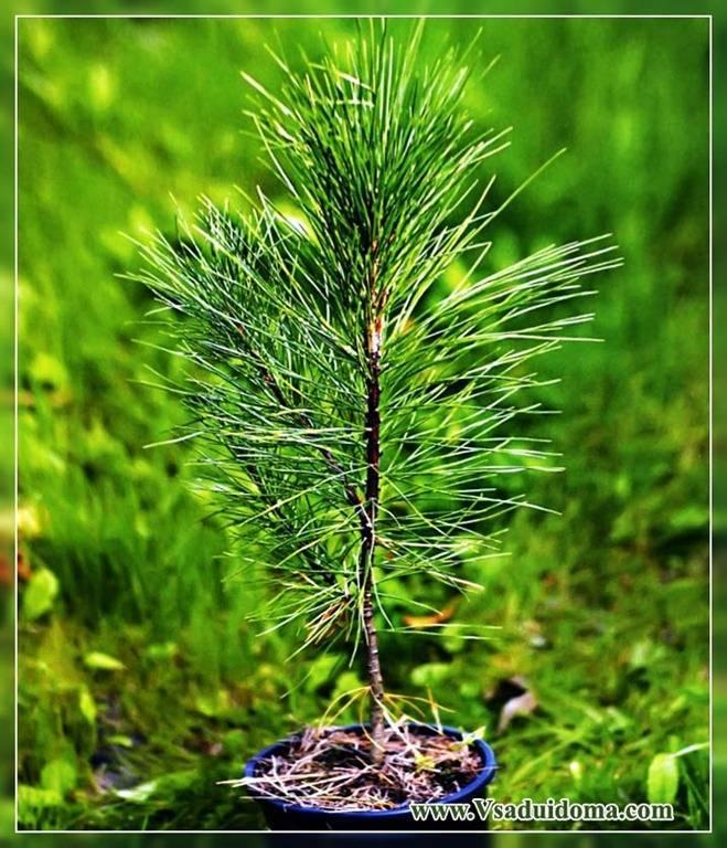 Семена сосны (17 фото): как вырастить дерево из семечек в шишке в домашних условиях? как правильно посадить семена и прорастить их дома?
