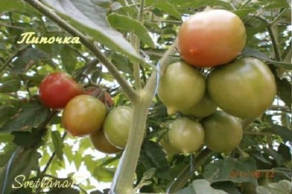 Томат сызранская пипочка: преимущества и недостатки сорта, секреты выращивания и отзывы опытных огородников