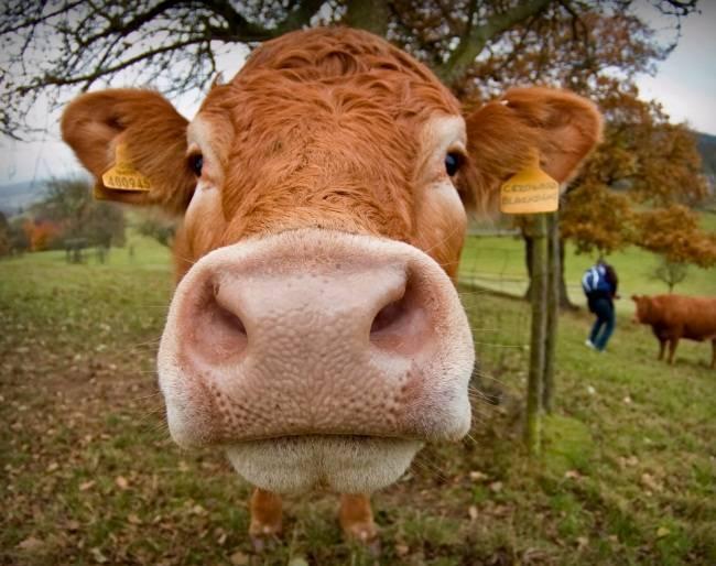Как лечить корову в зависимости от тяжести болезни?
