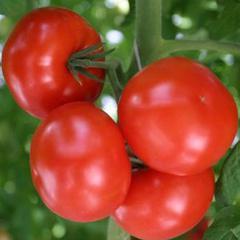 Характеристика и описание урожайного сорта томата евпатор f1