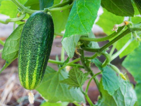 Описание огурца шоша f1: агротехника, сроки созревания