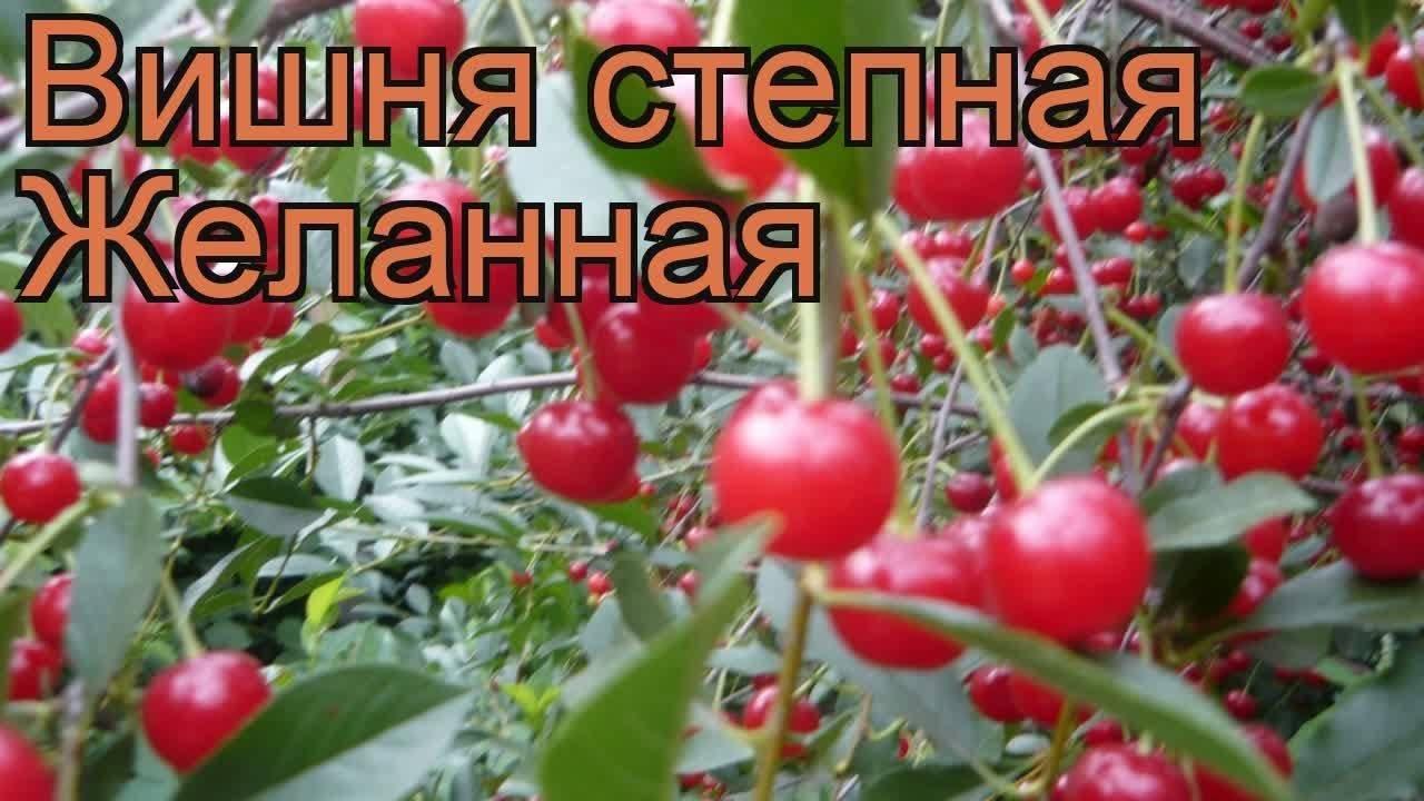 Вишня степная: характеристика, агротехника выращивания, обрезка