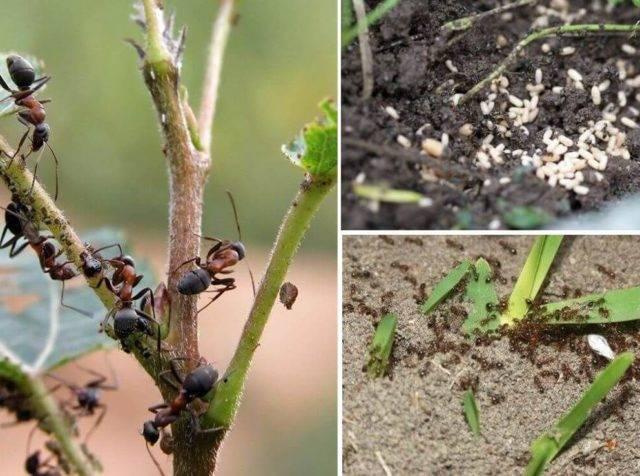 Чем и как избавиться от муравьев на вишне: способы и методы борьбы