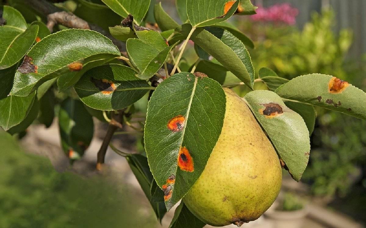 Болезни плодовых: как определить паршу на груше. все способы лечения парши: химические и народные средства