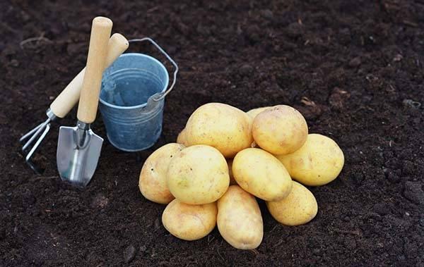 Характеристика картофеля инара