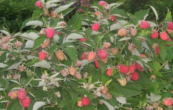 Характеристики и отличительные черты малинового дерева таруса