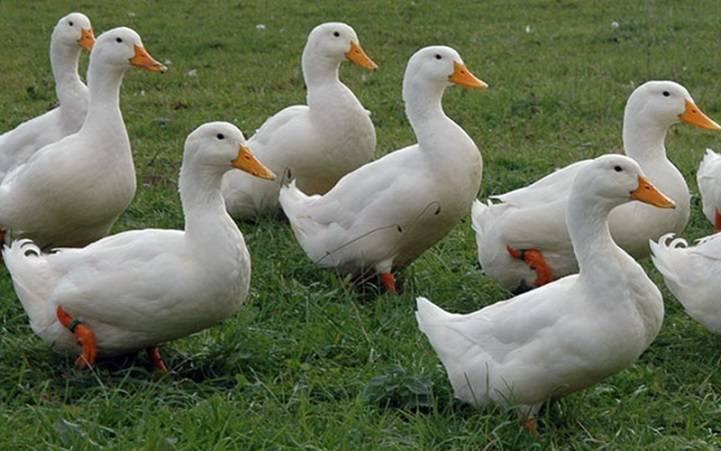 Бройлерная утка: описание, выращивание и разведение - общая информация - 2020