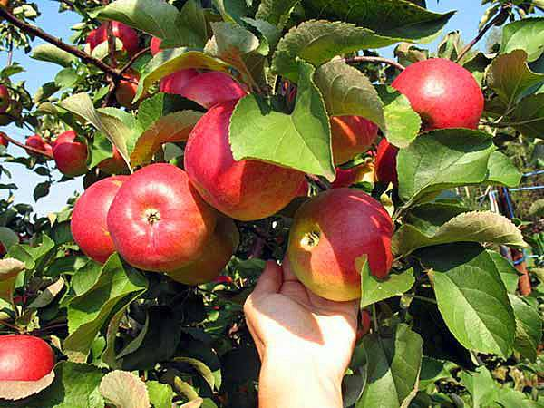 Сорт яблони подарок садоводам описание сорта фото отзывы посадка