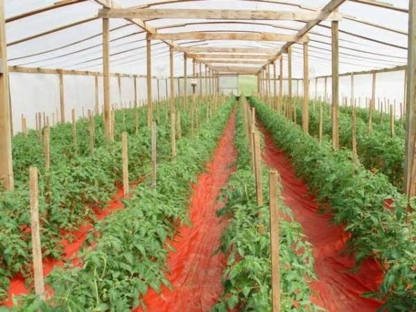 Как подкормить томаты после высадки в теплицу