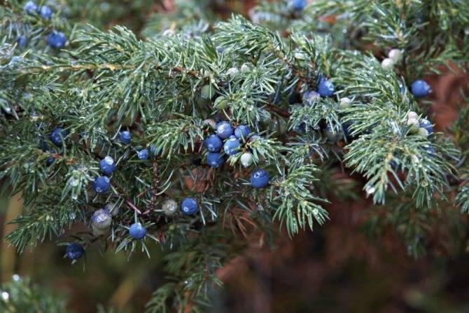 Можжевельник средний пфитцериана (juniperus x pfitzeriana или juniperus chinensis pfitzeriana)