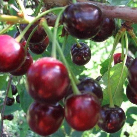 Вишня заранка — описание сорта, фото, отзывы садоводов
