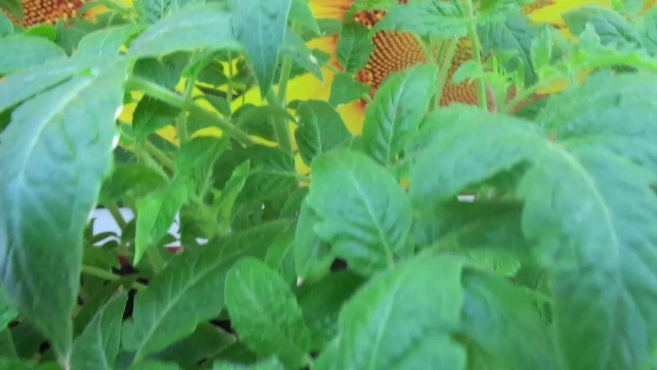 Почему вянут листья у рассады помидоров